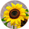 Small_1534272681-sunflower-flowers-bright-yellow-46216