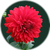 Small_dahlia-red-blossom-bloom-60597